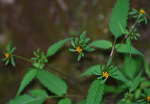 アメリカセンダングサの頭花が