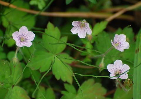 ゲンノウショウコの花がきれい
