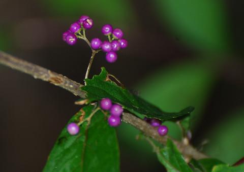 ムラサキシキブに紫の実が