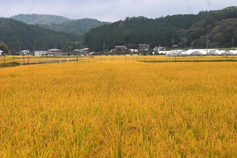 稲の実りが美しい
