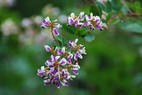 キハギの花がきれい