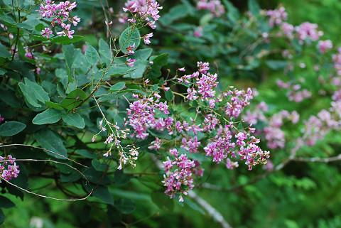 ヤマハギの花も