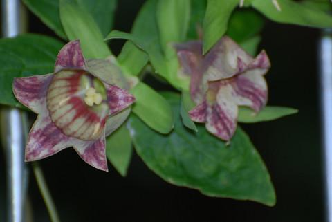 ツルニンジンの花をアップ