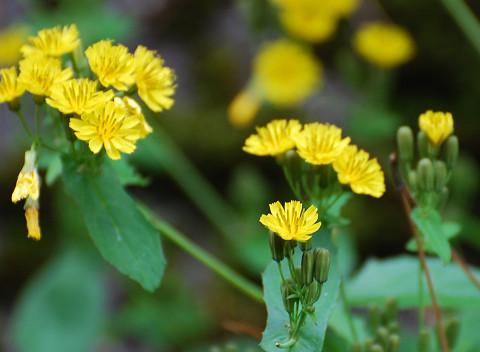 ヤクシソウの花は美しい2