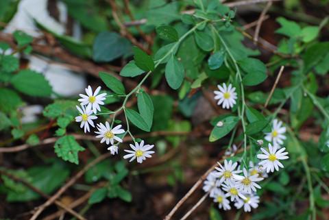 ノコンギクの白い花が