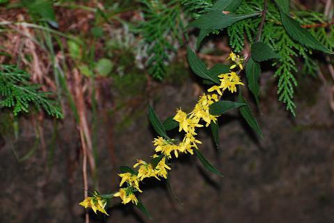アキノキリンソウの黄色い花が