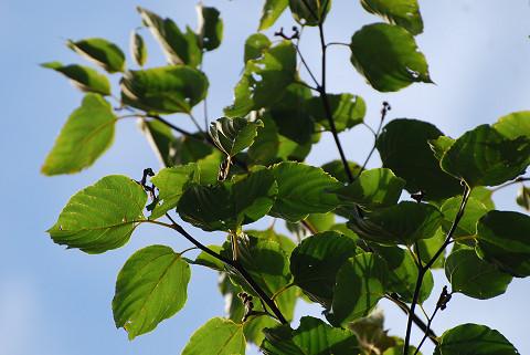 ケンポナシの葉が