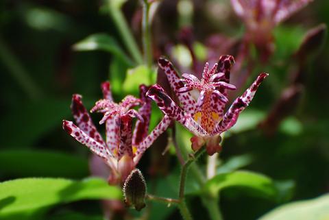 ホトトギスの花は濃い色