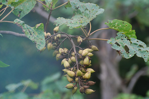 キリの実がいっぱい