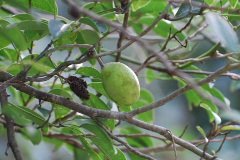 ムベの丸い実が