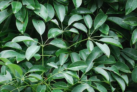 ムベの葉は