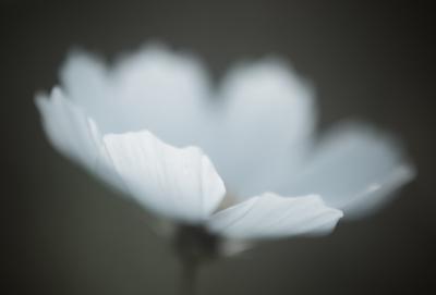 秋桜-1030927