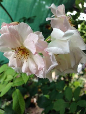__rose_convert_20140827160706.jpg