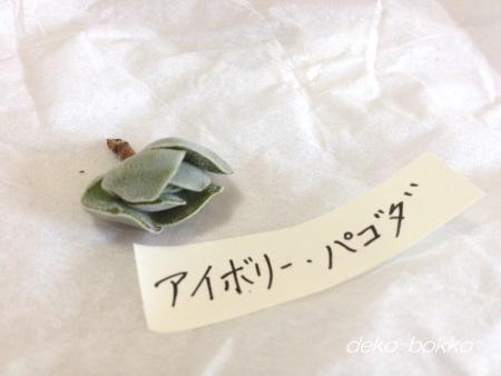 アイボリー パゴダ ゆぽぽ産 201409