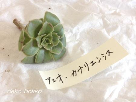 アエオニウム カナリエンシス ゆぽぽ産 201409