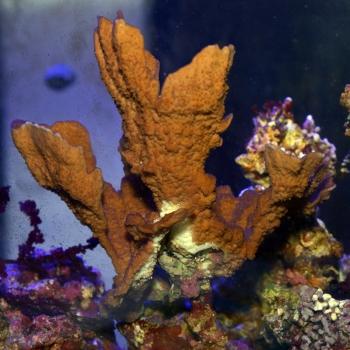 ウスコモンサンゴ