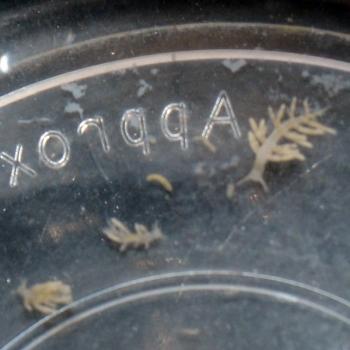 ウスコモンサンゴ食害ミノウミウシ