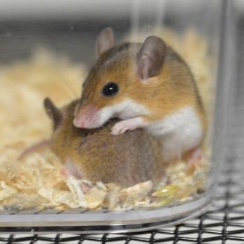 アフリカンピグミーマウス