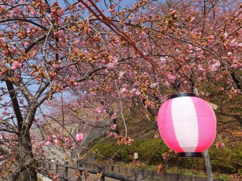 まつだ桜まつり・西平畑公園の河津桜