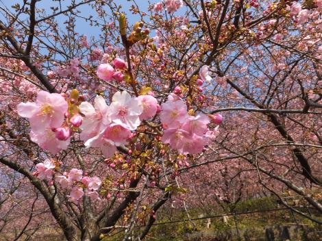 まつだ桜まつり・西平畑公園河津桜