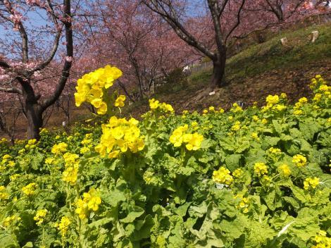 まつだ桜まつり・西平畑公園菜の花