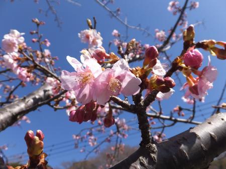 早咲き桜・望地弁天キャンプ場