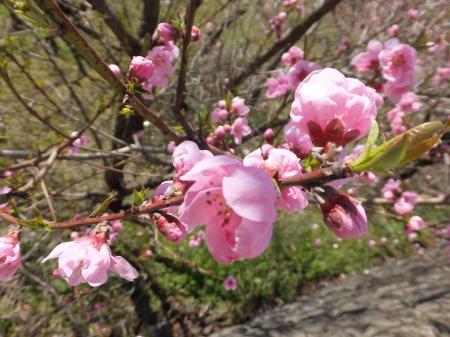 神澤不動尊前桃の花