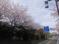 星槎城山トンネル付近の桜