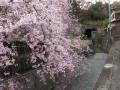 宝光院の桜