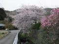 宝寿院の桜