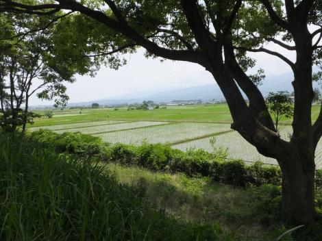 酒匂川右岸の田んぼ