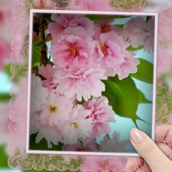 松前琴糸桜A