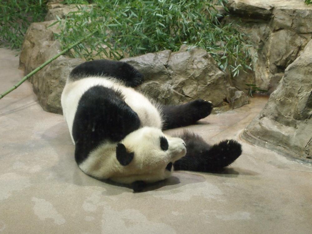 panda01_201409050544235fa.jpg