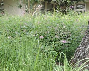 萩の花blog01