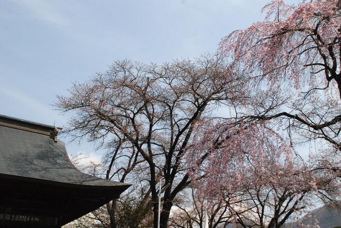 放光寺の桜27