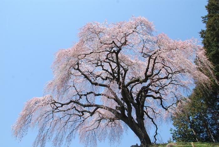 乙ケ妻の桜1
