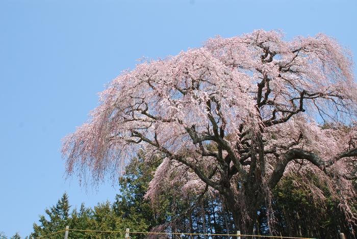 乙ケ妻の桜23