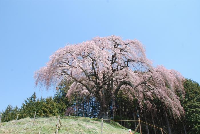 乙ケ妻の桜24