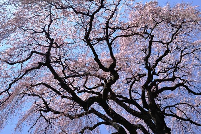 乙ケ妻の桜k