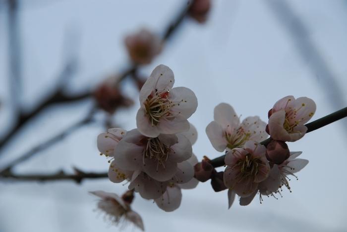 南高梅の花15