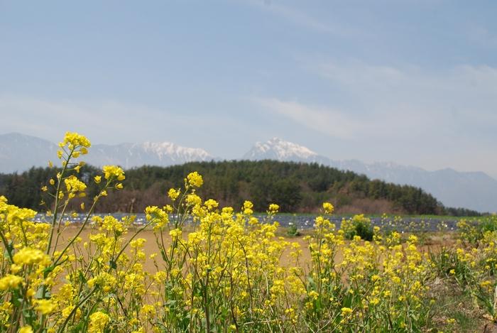 菜の花と八ヶ岳14