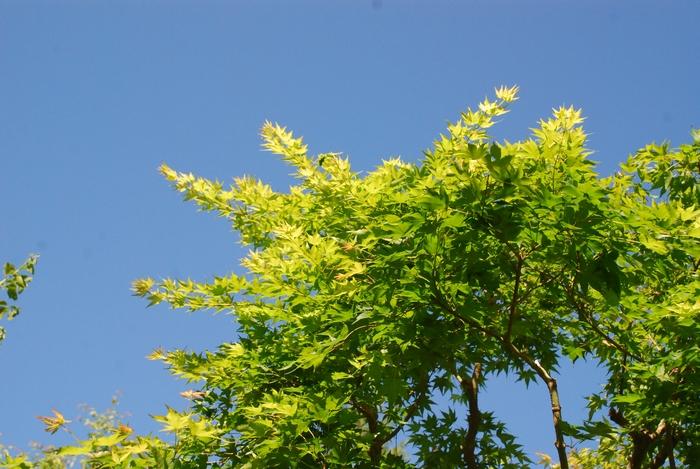 さっぱりしたカエデの木5