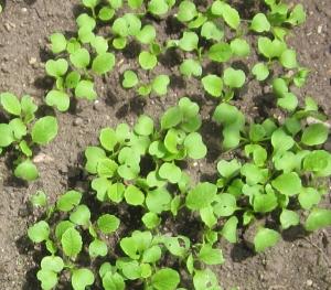小松菜 種まき