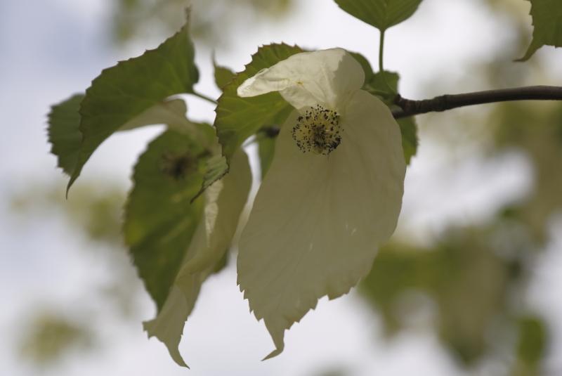 ハンカチの木1