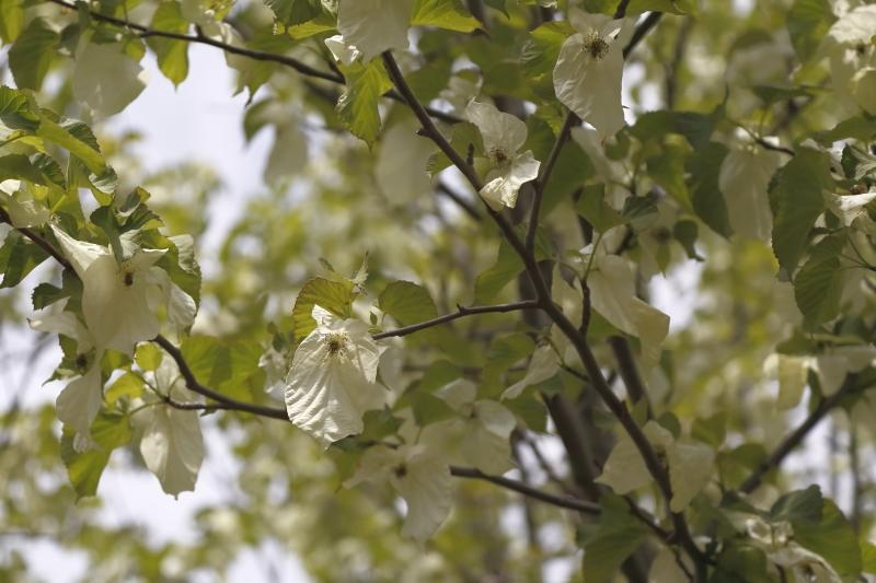 ハンカチの木2