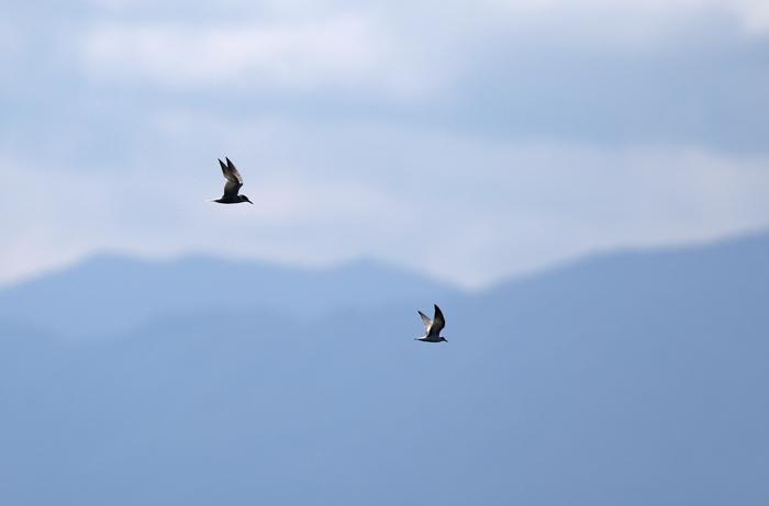 2014-8-30アジサシAR0J7624