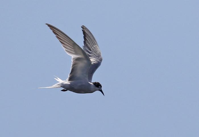 2014-8-30アジサシ幼鳥AR0J7718