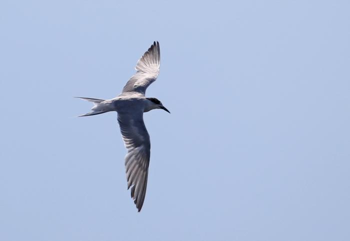 2014-8-30アジサシ幼鳥AR0J7760