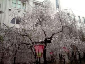 造幣局 桜の通り抜け 2014 Part7(八重紅枝垂)