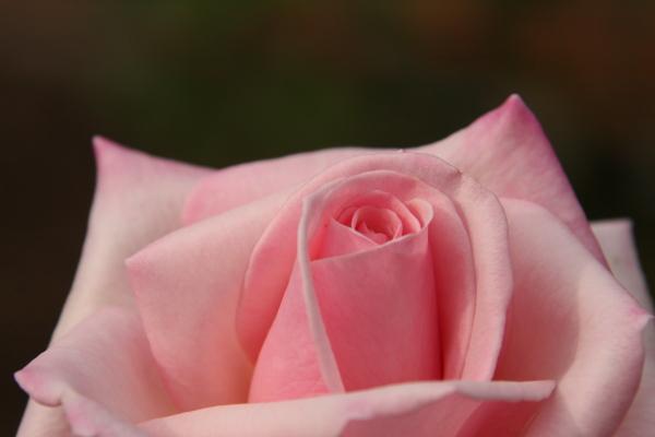 141012-rose-02.jpg